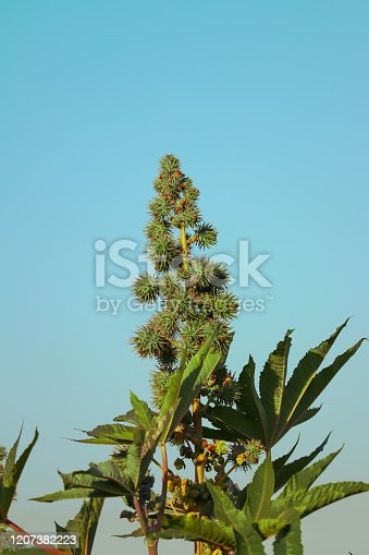 istock Caster Bean or Ricinus communis, the castor bean or castor oil plant, is a species of perennial flowering plant in the spurge family, Euphorbiaceae. It is the sole species in the monotypic genus,castor plants and blue sky 1207382223