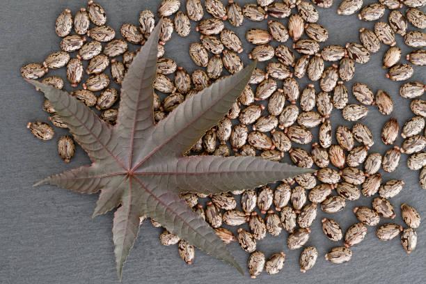 卡斯特豆 (裡西斯)-葉子和種子 - ricin 個照片及圖片檔