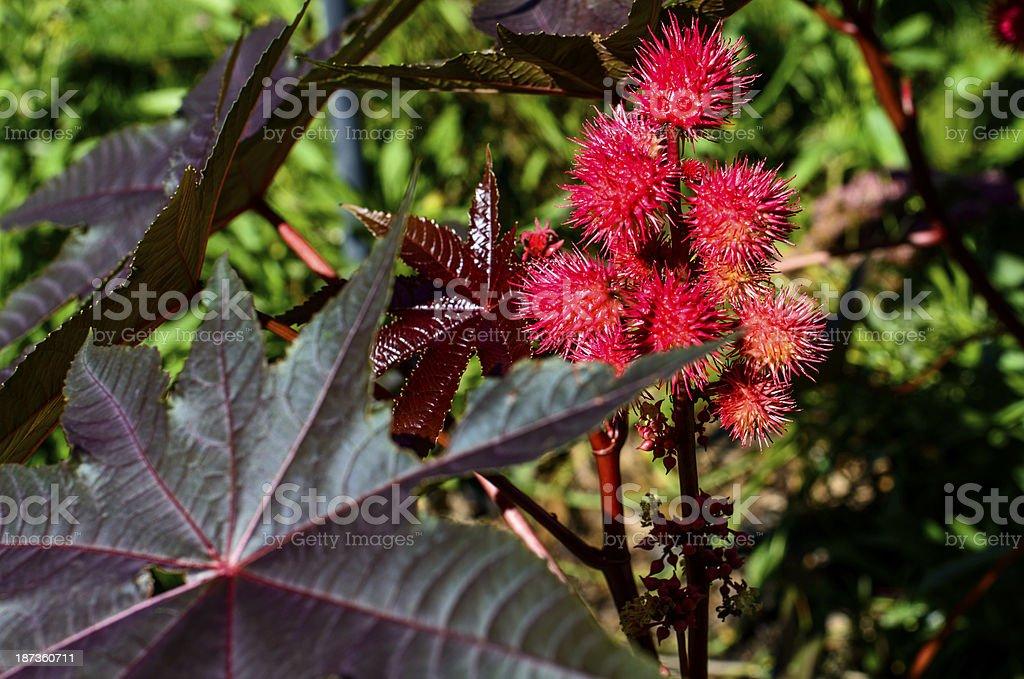 Castor Bean Plant stock photo