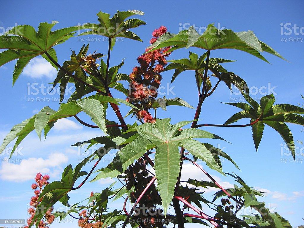 castor bean plant & seeds royalty-free stock photo