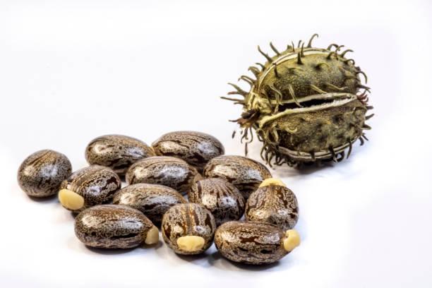 在巴西白色背景上分離的腳輪豆種子。 - ricin 個照片及圖片檔
