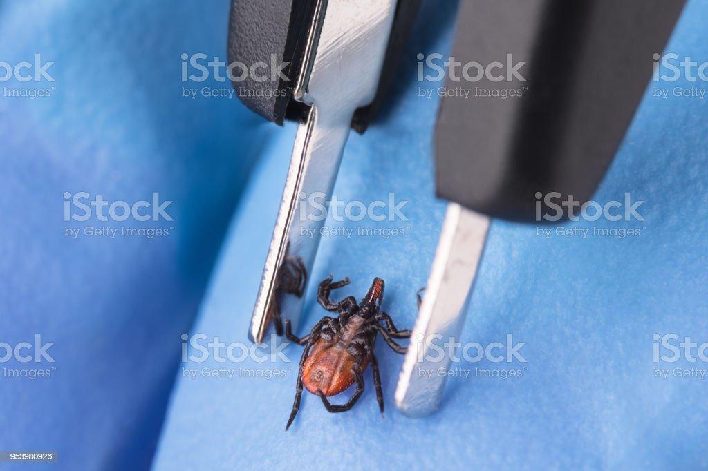 Castor bean tick and tweezers on hand in blue glove. Ixodes ricinus stock photo