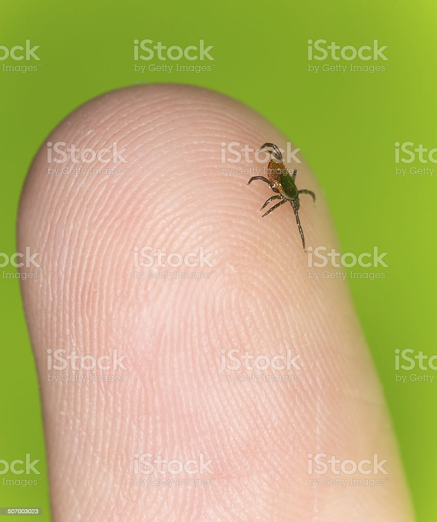 Castor bean tick, Ixodes ricinus crawling on human finger stock photo