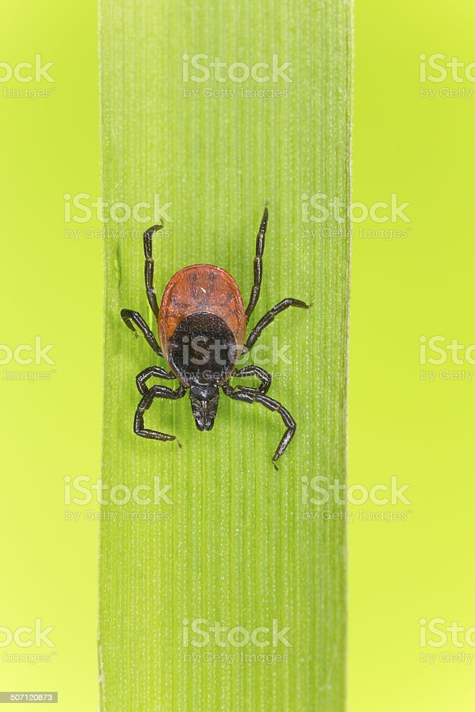 Castor bean tick, Ixodes ricinus on grass blade stock photo