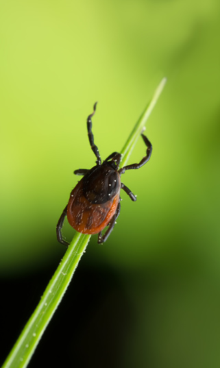 Castor Bean Tick Ixodes Ricinus On Grass Stock Photo - Download Image Now