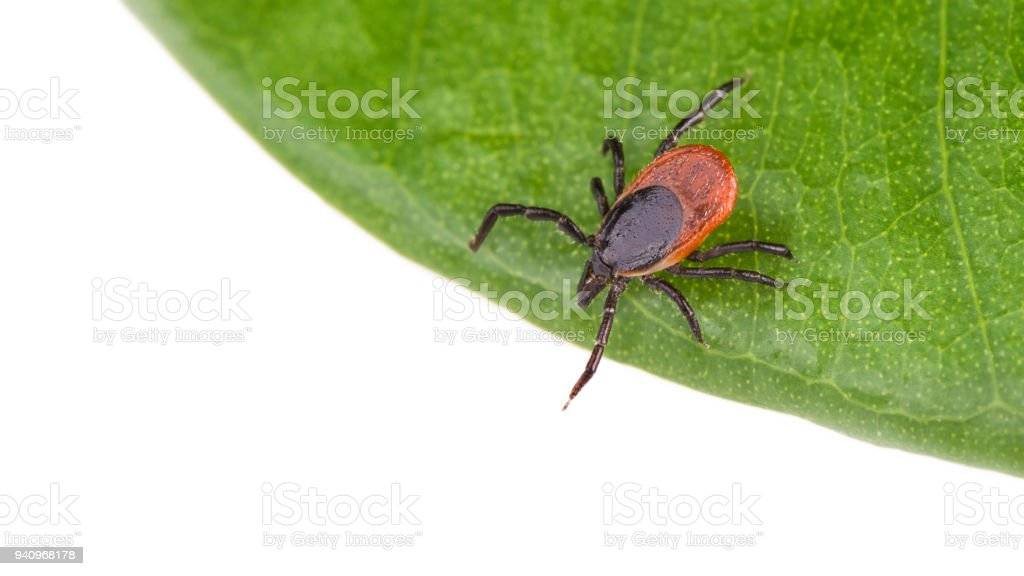 Castor bean tick on a green leaf. Ixodes ricinus. Isolated on white background stock photo