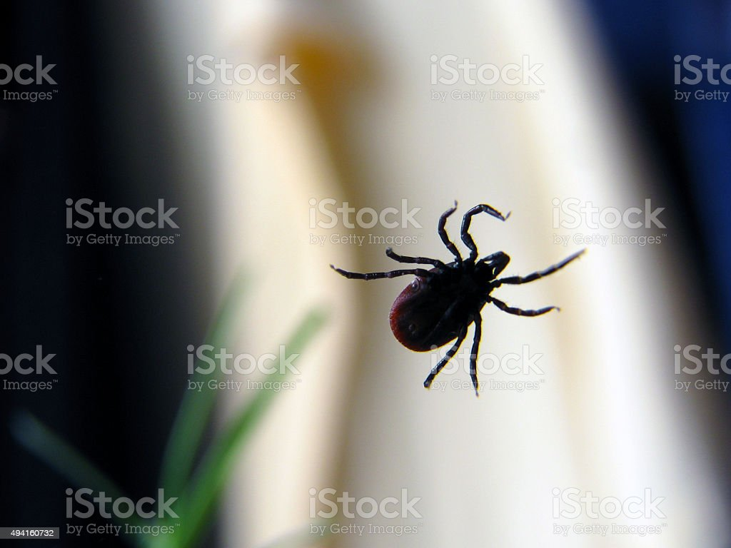 FEMALE TICK stock photo