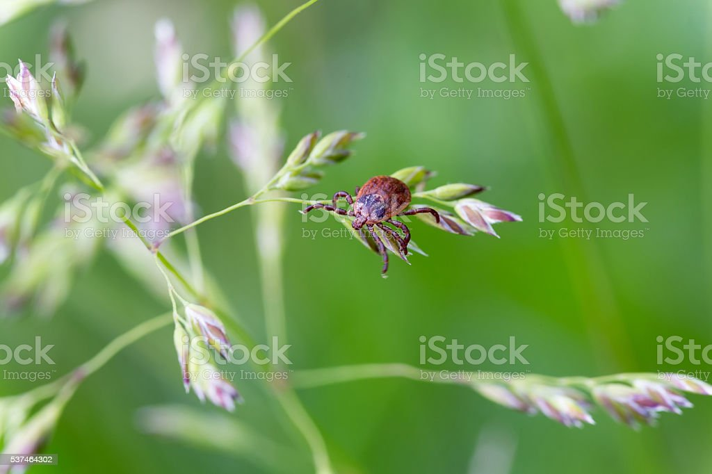 Castor bean tick (Ixodes ricinus) stock photo