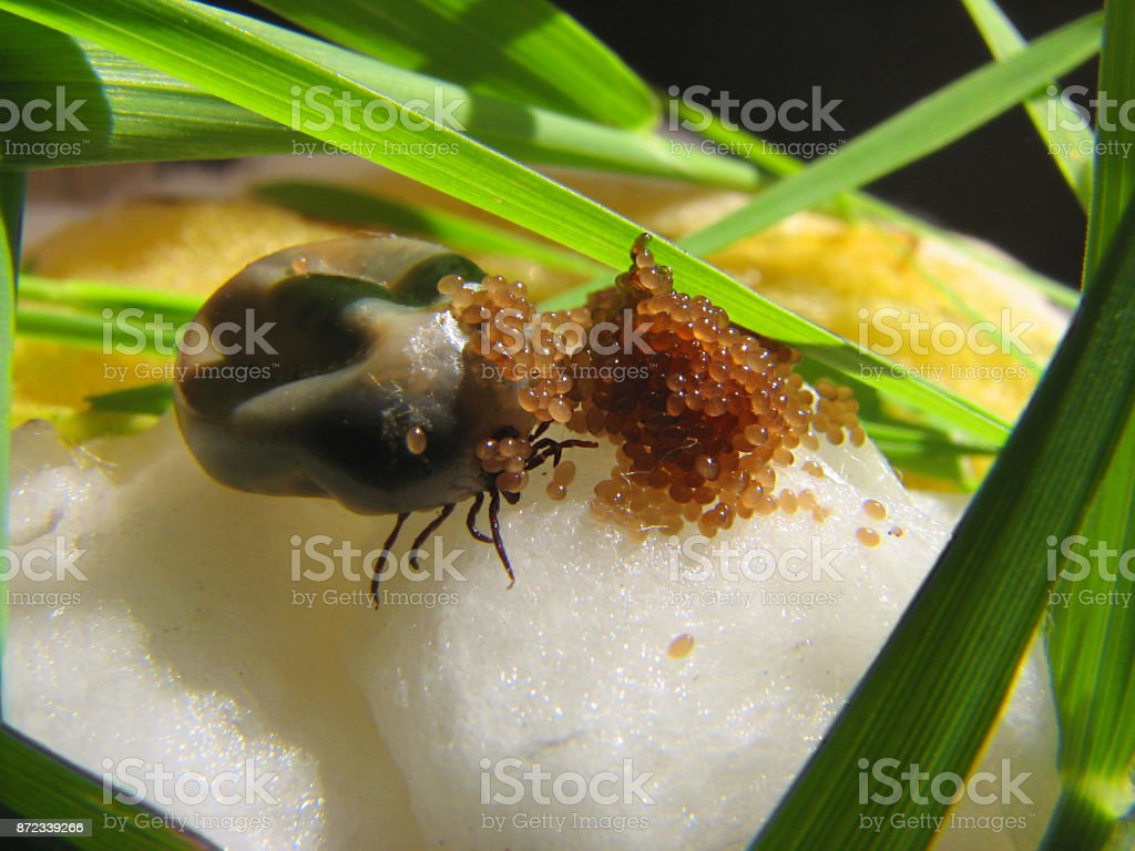 Tick stock photo