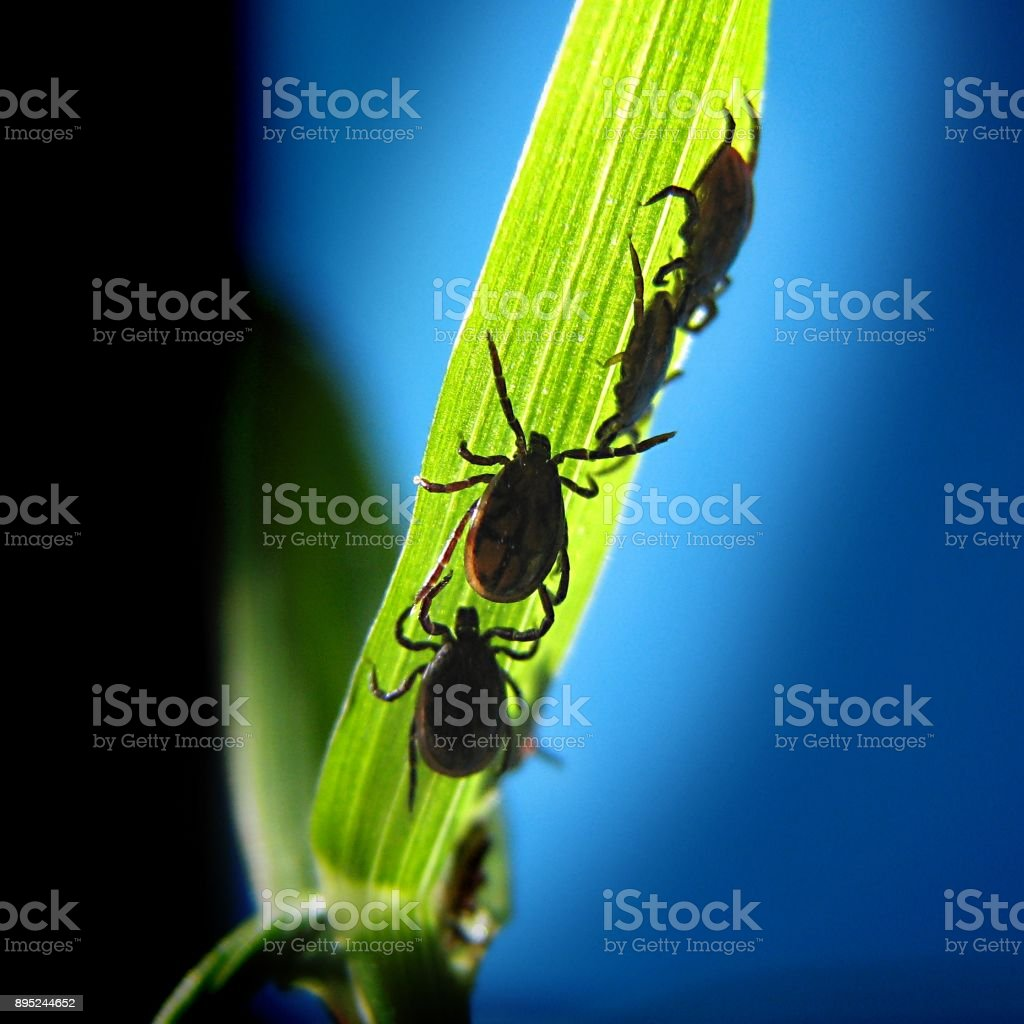 Four ticks stock photo