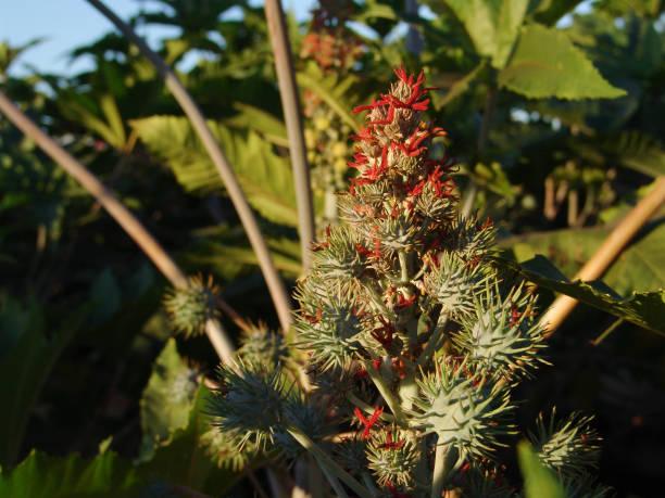 巴西田間種植卡斯托爾豆 - ricin 個照片及圖片檔