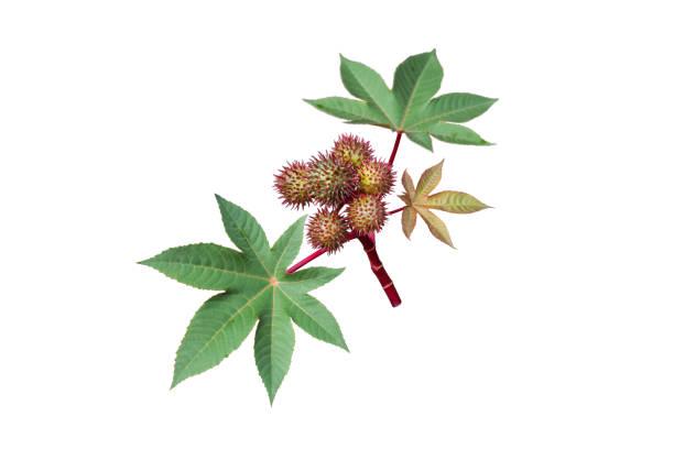 腳輪油或里西努斯共融植物與種子膠囊和葉子隔離在白色。 - ricin 個照片及圖片檔