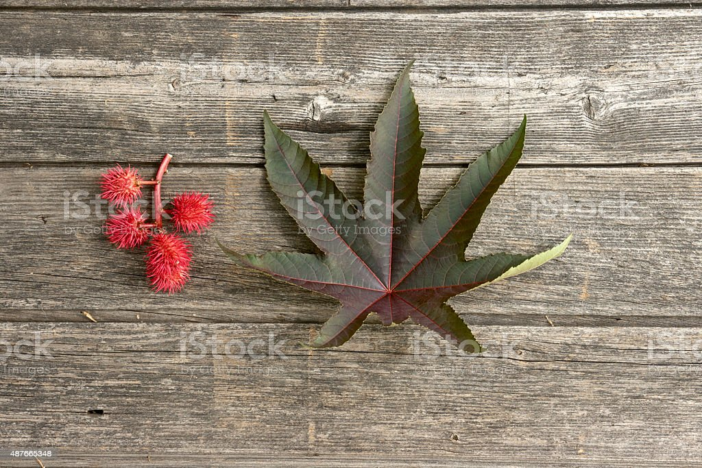 Castor oil plant crop and leaf stock photo