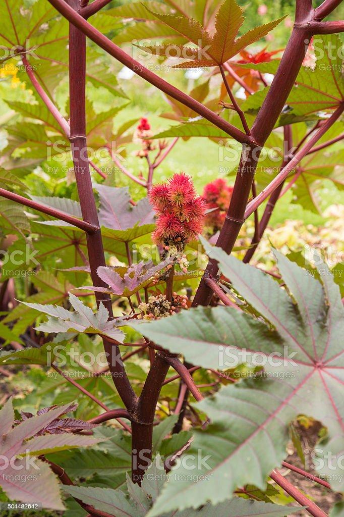 Castor Oil Plant Ricinus Communis Stock Photo Download Image Now Istock