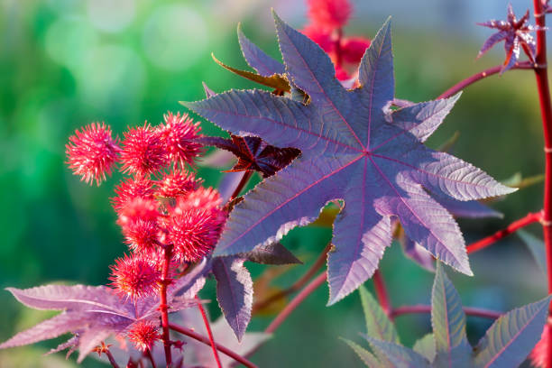 Castor oil plant with red prickly fruits and colorful leaves. stock photo