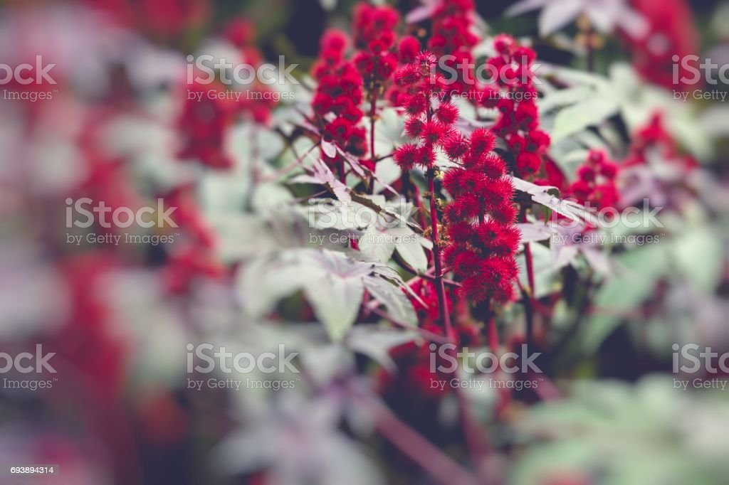 Castor oil plant with red prickly fruits and colorful leaves stock photo
