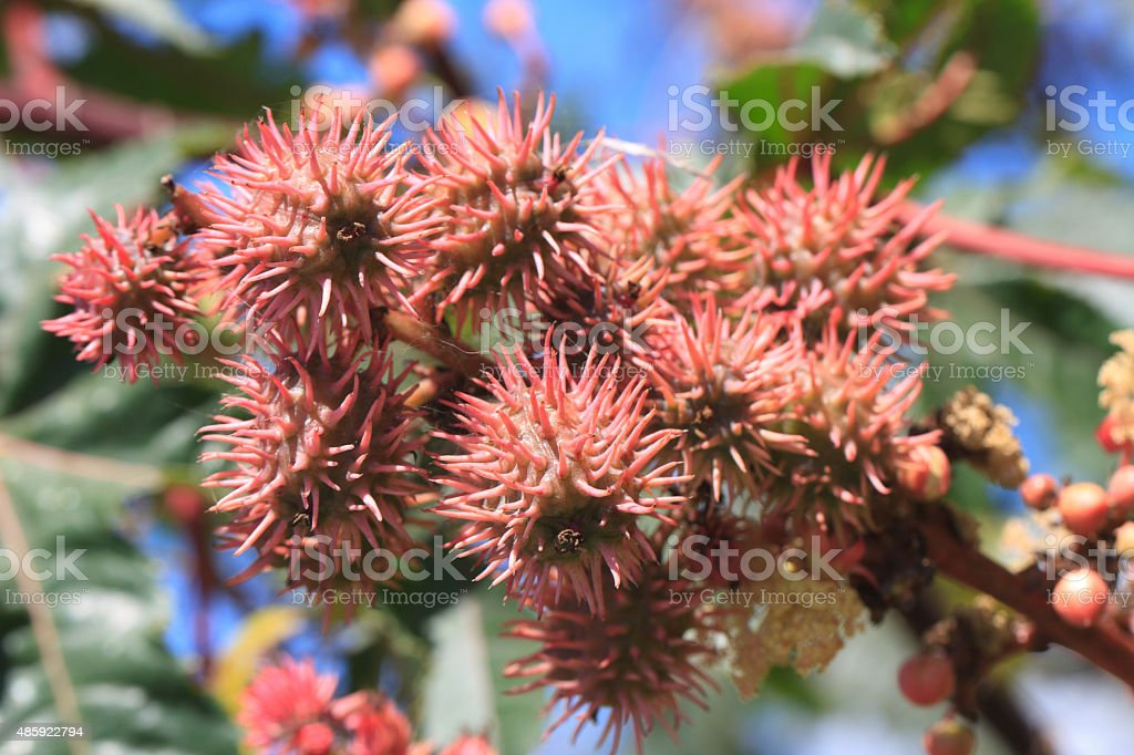 Castor oil plants with fruit close-up. horizontal stock photo