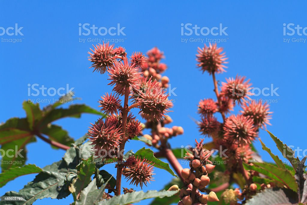 Castor oil plants with fruits on a sky background stock photo