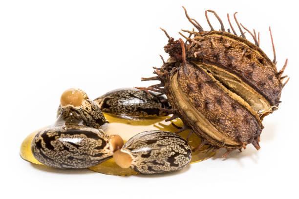 腳輪油籽 - ricin 個照片及圖片檔