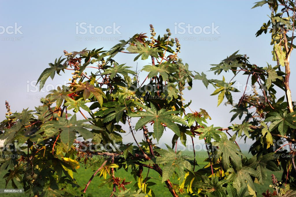Castor plant stock photo