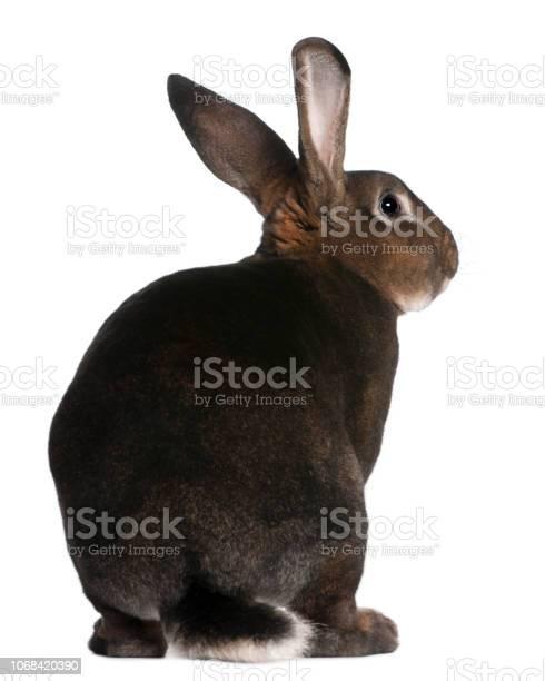 Castor rex rabbit in front of white background picture id1068420390?b=1&k=6&m=1068420390&s=612x612&h=ocps4mbvydl9aublyer x7woxupndgbqzymrdkwpsjw=
