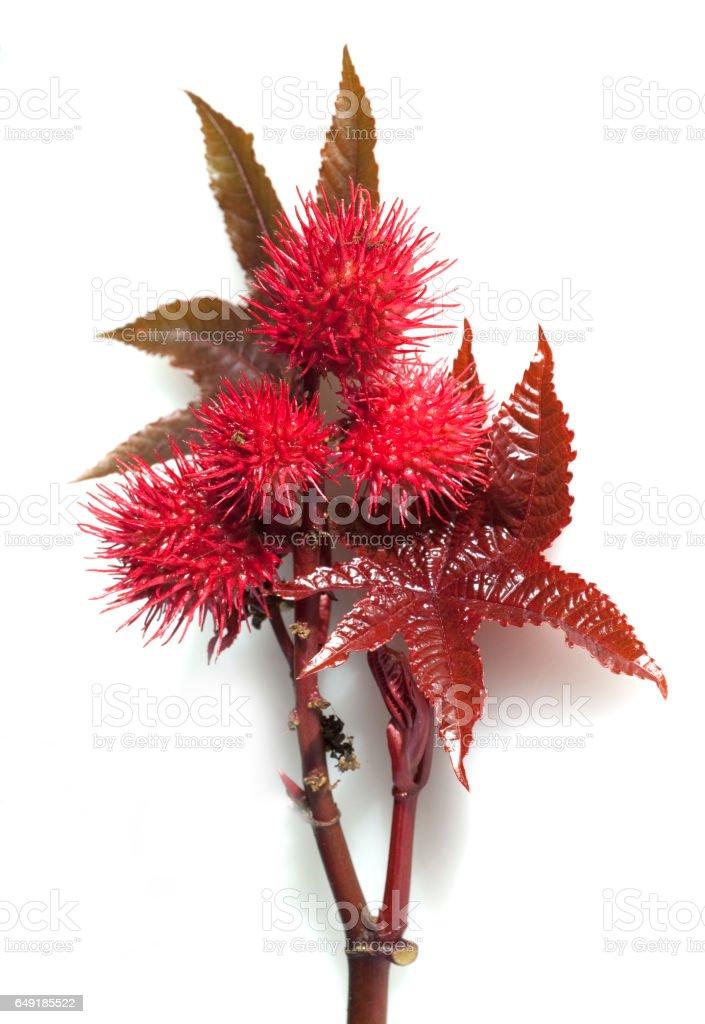 castor; Ricinus communis stock photo