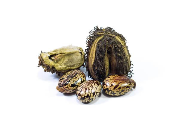 白色背景上的蓖麻籽 - ricin 個照片及圖片檔