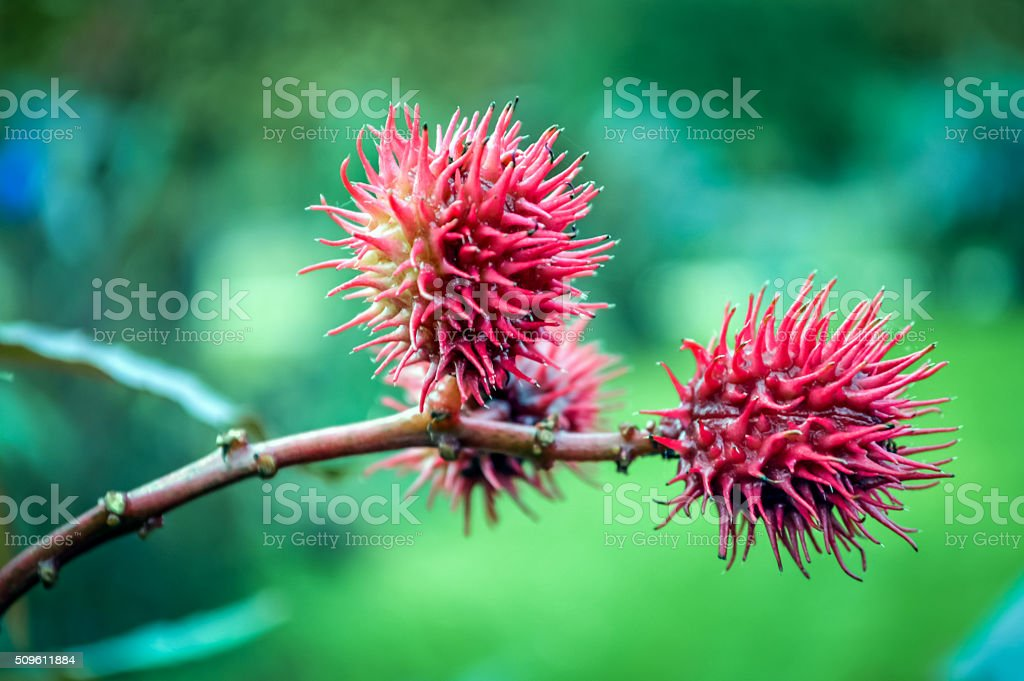 Castorbean seeds closeup stock photo