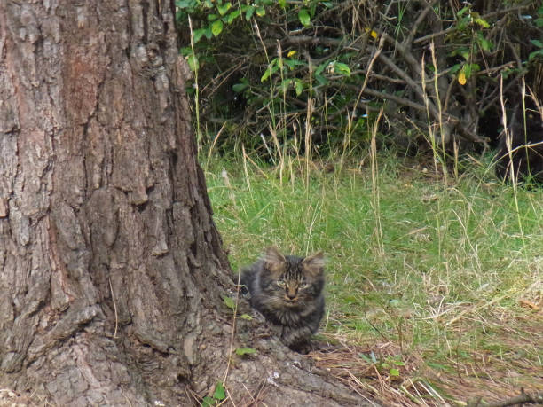 神戸市在住去勢猫では、「桜猫と呼ばれます。 ストックフォト