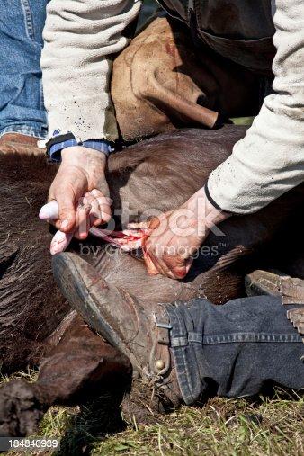 istock Castrating Bulls 184840939