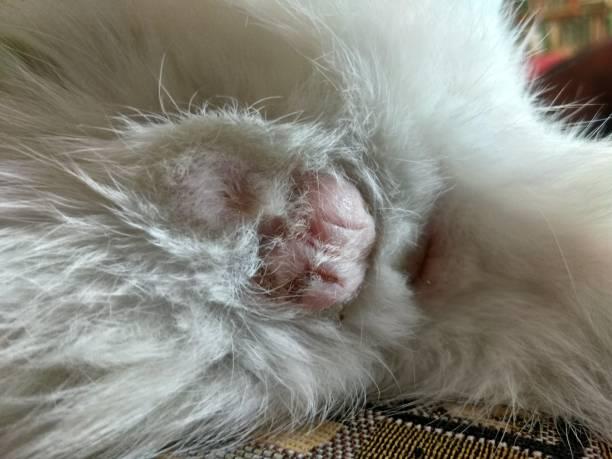 castratie van een kat - ketamine stockfoto's en -beelden