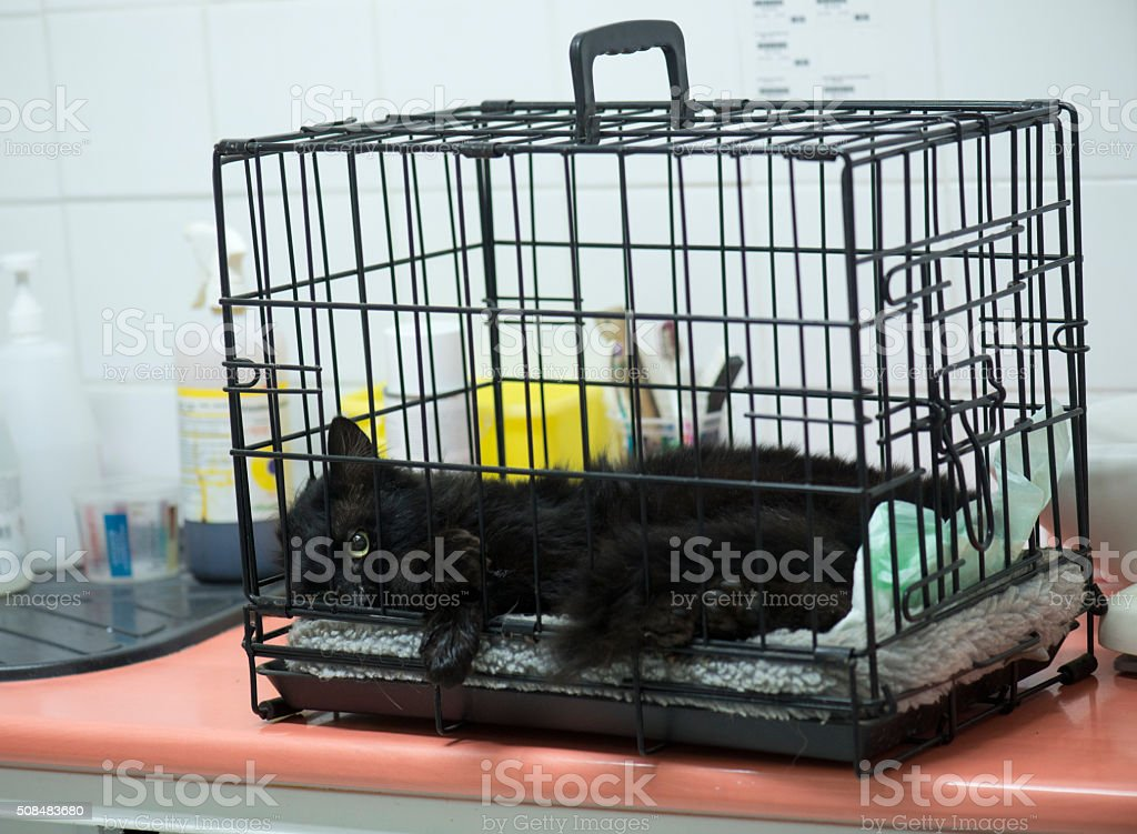 castration of a male cat stock photo