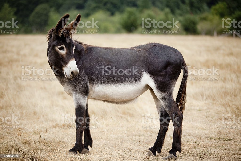 Casual Mule Donkey Standing in a Meadow or Pasture Outdoors stock photo