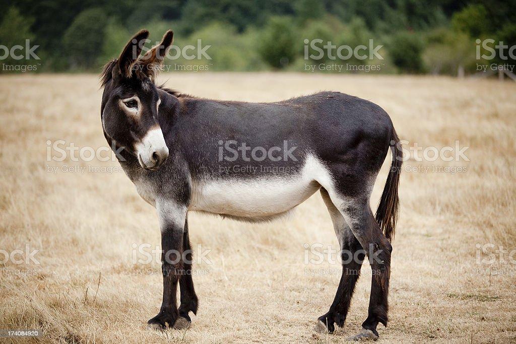 Legere Muli Esel stehen in einer Wiese oder Viehweide im Freien – Foto