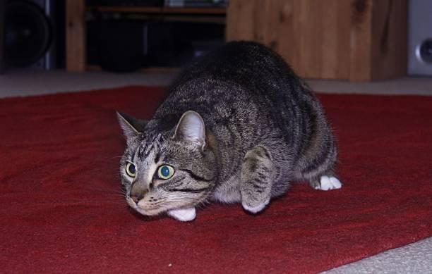 Cat about to pounce picture id535474810?b=1&k=6&m=535474810&s=612x612&w=0&h=gu2hxmnv5jtqa6zbsfsr7croax2qb3s3sdpzb7dt3cy=