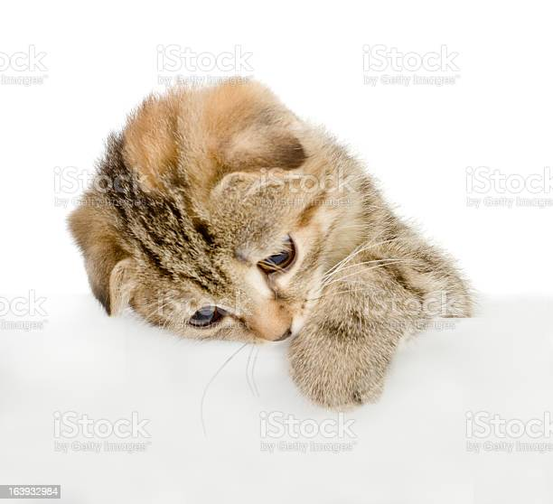 Cat above white banner picture id163932984?b=1&k=6&m=163932984&s=612x612&h=4mrp5tnpblspasd 1jx6bhx rxbl4sksfvl5l1aq1cy=
