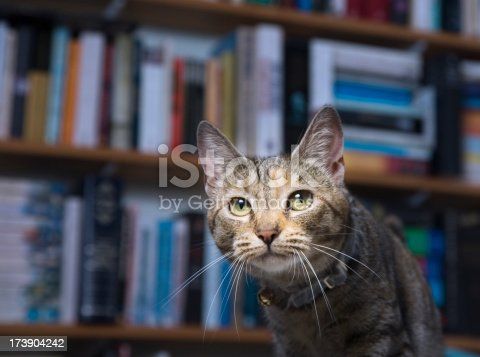 Domestic tabby cat stalking amongst the bookcases.