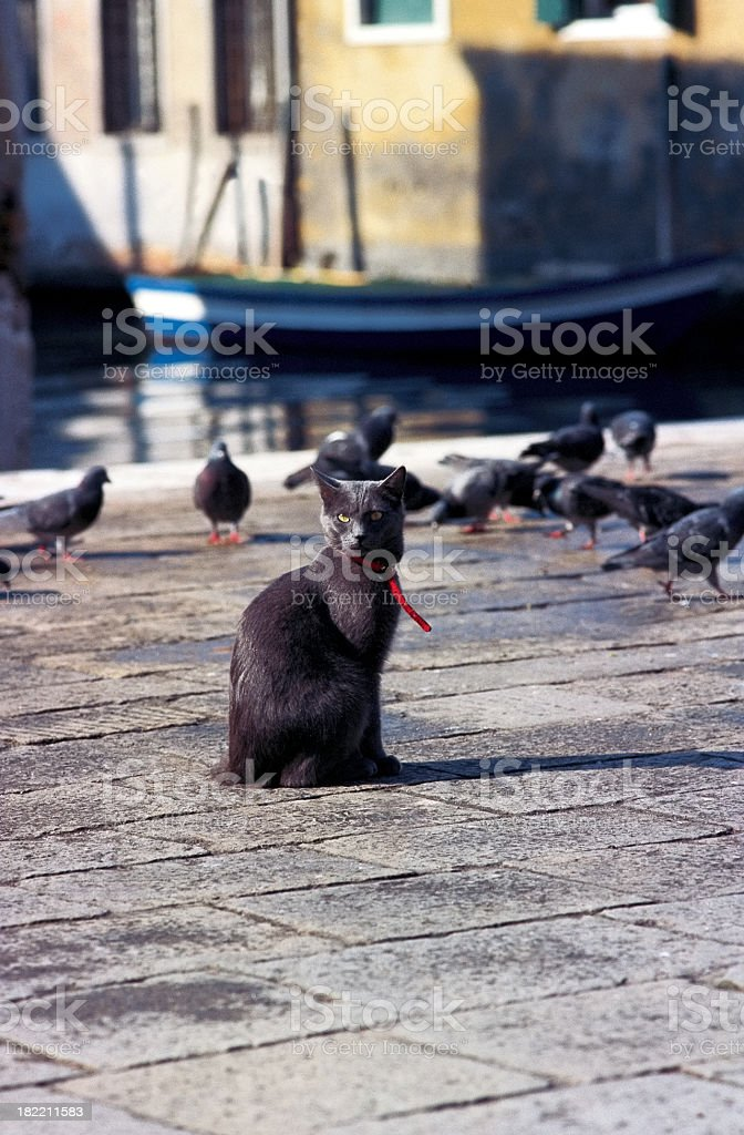 Cat amongst the pigeons. royalty-free stock photo