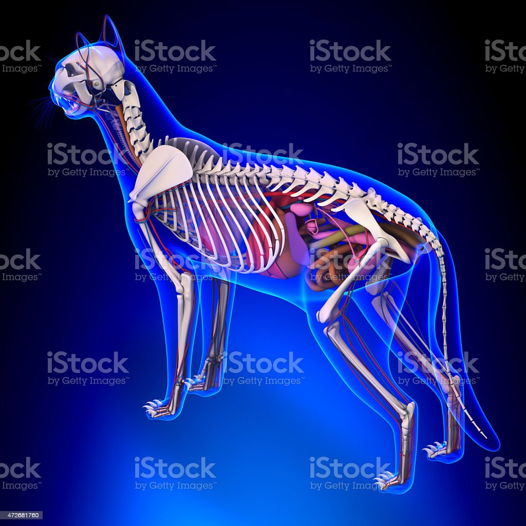Anatomy Of A Cat Istock