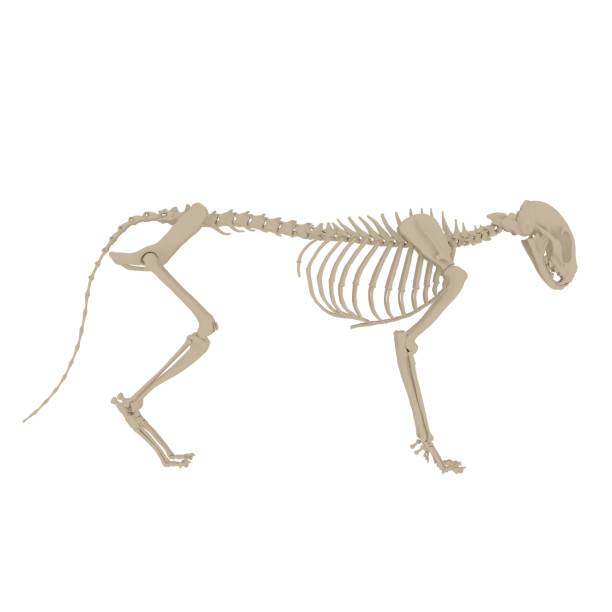 Cat Anatomy Skeleton - Stock image 3d render of a cat skeleton - side view cat skeleton stock pictures, royalty-free photos & images
