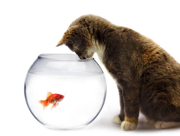 Cat and a gold fish picture id119897323?b=1&k=6&m=119897323&s=612x612&w=0&h=mhbalrtxo5n5qfsczbgzawnqszk5mxz3ymkbxnjfny8=