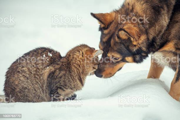 Cat and big dog are best friends sitting outdoors in the snow in picture id1003763770?b=1&k=6&m=1003763770&s=612x612&h=dptolblbuptbgml navcqlsyv91mnlrt482cmwlaz3a=