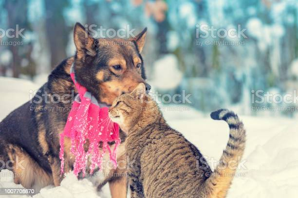 Cat and big dog are best friends sitting outdoors in the snow in picture id1007708670?b=1&k=6&m=1007708670&s=612x612&h=m tbo9fq78bt8it1xzdndmuw4rbxph05nur f2vudks=