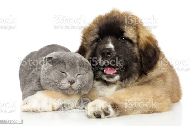 Cat and caucasian shepherd puppy playing picture id1251409956?b=1&k=6&m=1251409956&s=612x612&h=2rk5rpvkqemlbaklxdvsqr4n72atjp9ok5z83 orybc=