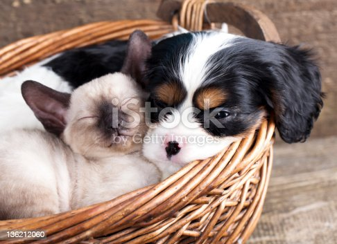 A Cavalier King Charles spaniel puppy and a kitten cuddled next to one another sleeping in a brown basket.  The puppy and kitten are similar shades of white, brown and black.  The angle of the picture is tilted slightly to the left.