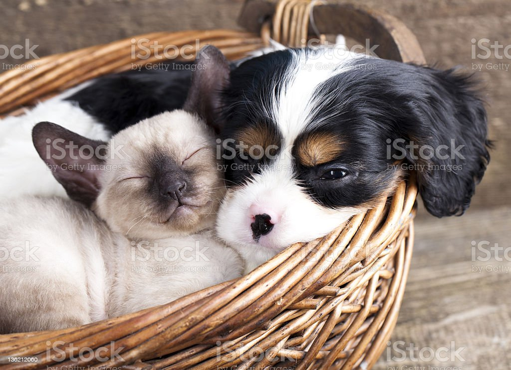 Cat and Cavalier King Charles spaniel in a basket stock photo
