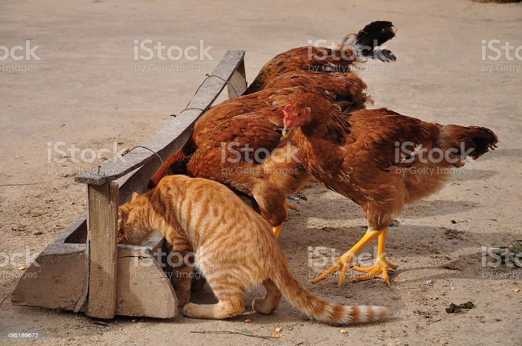 Cat and Chicken stock photo
