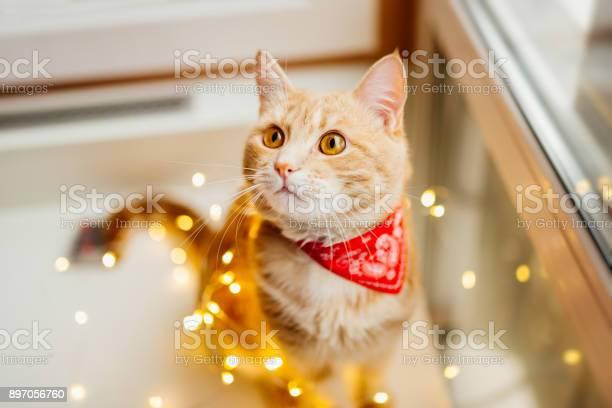 Cat and christmas lights cute ginger cat lying near the window and picture id897056760?b=1&k=6&m=897056760&s=612x612&h=q6h42pr5fvekamvjin5d1ez6gnyr5ztkszh87umkjcq=