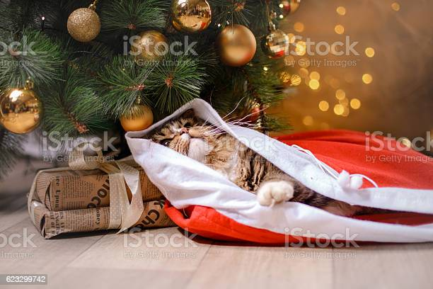 Cat and christmas tree picture id623299742?b=1&k=6&m=623299742&s=612x612&h=har3qa7vi3dshcsyujrwsu58b6ze31m6yhrafb5rpci=