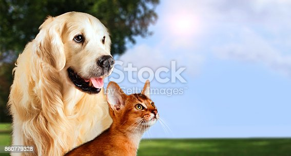 istock Cat and dog, abyssinian cat, golden retriever together on peaceful nature background 860779328
